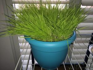 Wheat Grass Experiment